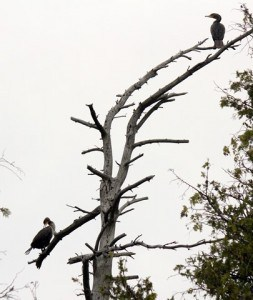 Double-crested Cormorants in tree - May 2016 - Gwen Forsyth