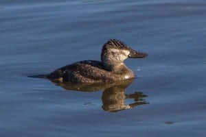 Female Ruddy Duck - Wikimedia