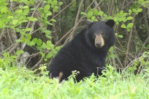 Black Bear - Randy Therrien