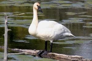 Trumpeter Swan - Gwen Forsyth