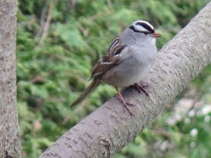 White-crowned Sparrow - Mike Barker