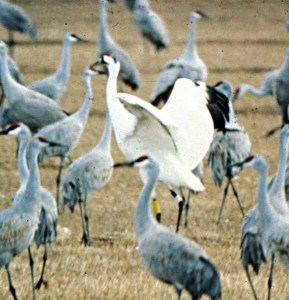 Whooping Crane with Sandhill Cranes - note big size difference - Wikimedia
