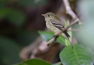 Yellow-bellied Flycatcher - Wikimedia