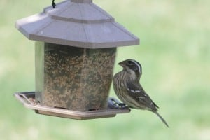 Sparrow-like female Rose-breasted Grosbeak - Cindy Bartoli