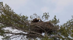 Bald Eagle nest on Stony Lake (photo by Jeff Jones)