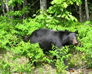 Black Bear with cub (behind & partially hidden) Killarney P.P. - Sue Paradisis