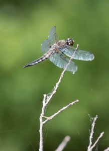 Four-spotted Skimmer - June 18-19, 2016 - Lower Buckhorn Lake - Robin Blake