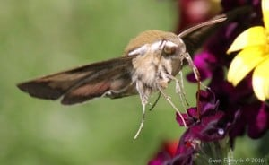 Gallium Sphinx moth 2 - June 4, 2016 - Gwen Forsyth