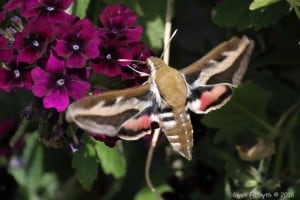 Gallium Sphinx moth - June 4, 2016 - Gwen Forsyth