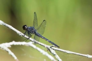Slaty Skimmer - June 18-19, 2016 - Lower Buckhorn Lake - Robin Blake