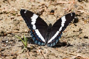 White Admiral -June 18-19, 2016 - Lower Buckhorn Lake - Robin Blake