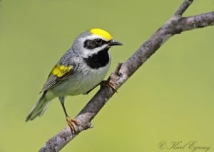 Male Golden-winged Warbler - Karl Egressy