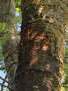 Sapsucker holes in mountain-ash - Rob Tonus