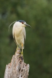 Black-crowned Night-Heron - Wikimedia