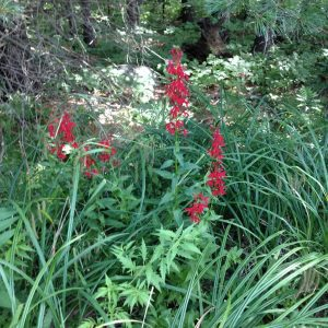 Cardinal Flower - August 3, 2016 - Big Gull Lake - Elaine Monkman