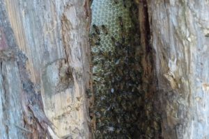 Feral Honey Bees on comb - Tom Northey