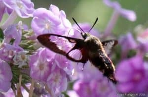 Hummingbird Clearwing Moth 2 - Gwen Forsyth - July 26, 2016