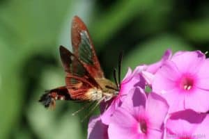 Hummingbird Clearwing Moth - Gwen Forsyth - July 26, 2016