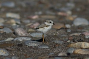 Piping Plover chick - June 2016 - Darlington - Greg Piasetzki
