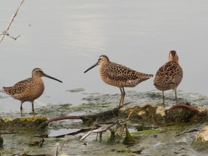 Short-billed Dowitchers - Blenheim Sewage Lagoon - May 12, 2016  Drew Monkman