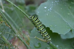 Black Swallowtail caterpillar on dill - Doug Gibson
