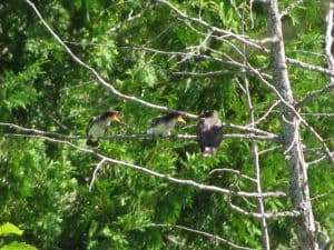 Eastern Kingbird family - August 7, 2016 - Peter Armstrong