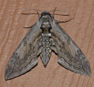 Five-spotted Hawk Moth (hornworm) Wikimedia