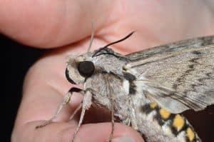 Manduca quinquemaculatus – Five-spotted Hawk Moth (tomato hornworm) Wikimedia