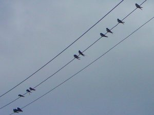 Swallows on wire in post-breeding flock - Wikimedia