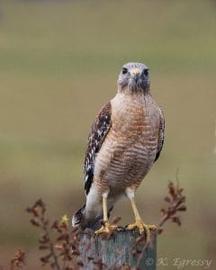 Red-shouldered Hawk - Karl Egressy