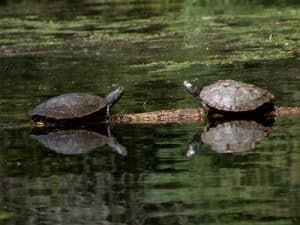 Map Turtles -September 5th 2016- Eel's Creek - Tim Dyson-
