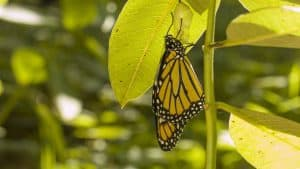 Adult monarch and empty chrysalis from which it emerged - Sept. 2016 - Sean McMullen