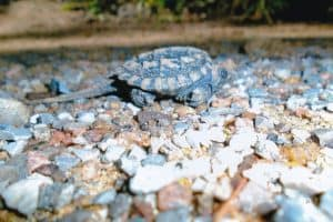 Baby Snapping Turtle - Marie Windover