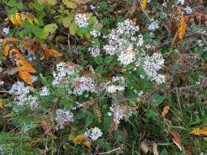Heart-leaved Asters along Blue Trail - Drew Monkman