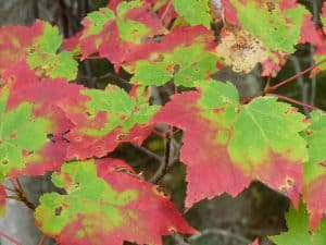 Leaves of red maple changing colour - Photo by Drew Monkman