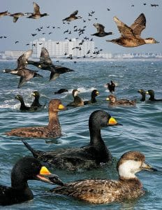 Black Scoter - Crossley ID Guide of Eastern Birds - Wikimedia