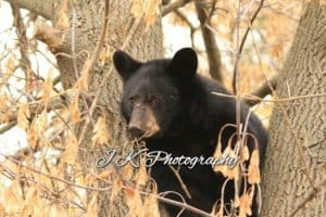 Black Bear cub 2 - Jeff Keller