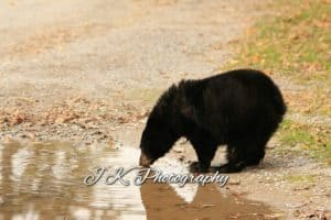 Black Bear cub 3 - Jeff Keller