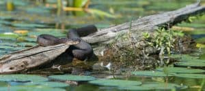 Northern Watersnake- Robin Williams Blake Lower Buckhorn Lake - July 26 2016