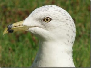 Ring-billed-Gull-August-30-gape-is-no-longer-red-note-new-dark-feathers-on-head-Barb-Evett