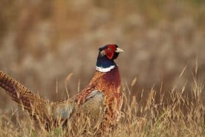 Ring-necked Pheasant - Lindsay - Nov. 2, 2016 - Jeff Keller