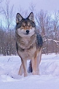 A majestic Algonquin (eastern) wolf photographed by Gord Harrison on his Haliburton far.