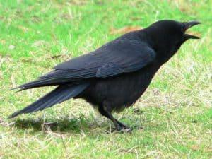 American Crow - Wikimedia