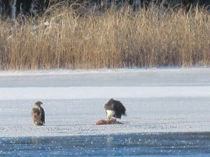 Bald Eagles on Otonabee River eating a carp - Dec. 19, 2016 - Sue Paradisis