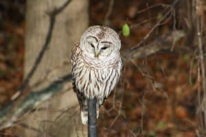 Barred Owl 2 - Alex McLeod