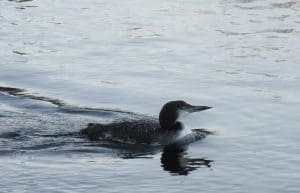 Common Loon - Lakefield - Dec. 19, 2016 - Sue Paradisis