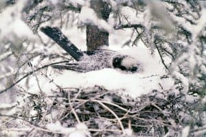 Gray Jay on nest in late winter - Dan Strickland