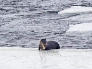 River otter eating a fish at Gannon's Narrows, Buckhorn Lake (by Kinsley Hubbs)