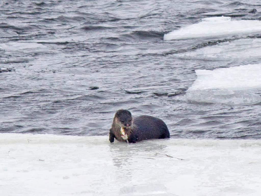 Sightings page 3 our changing seasons for Otter ice fishing