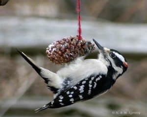 Hairy Woodpecker - Karl Egressy